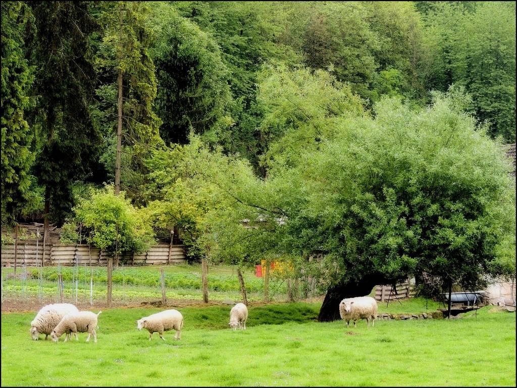 Moutons - Vivières